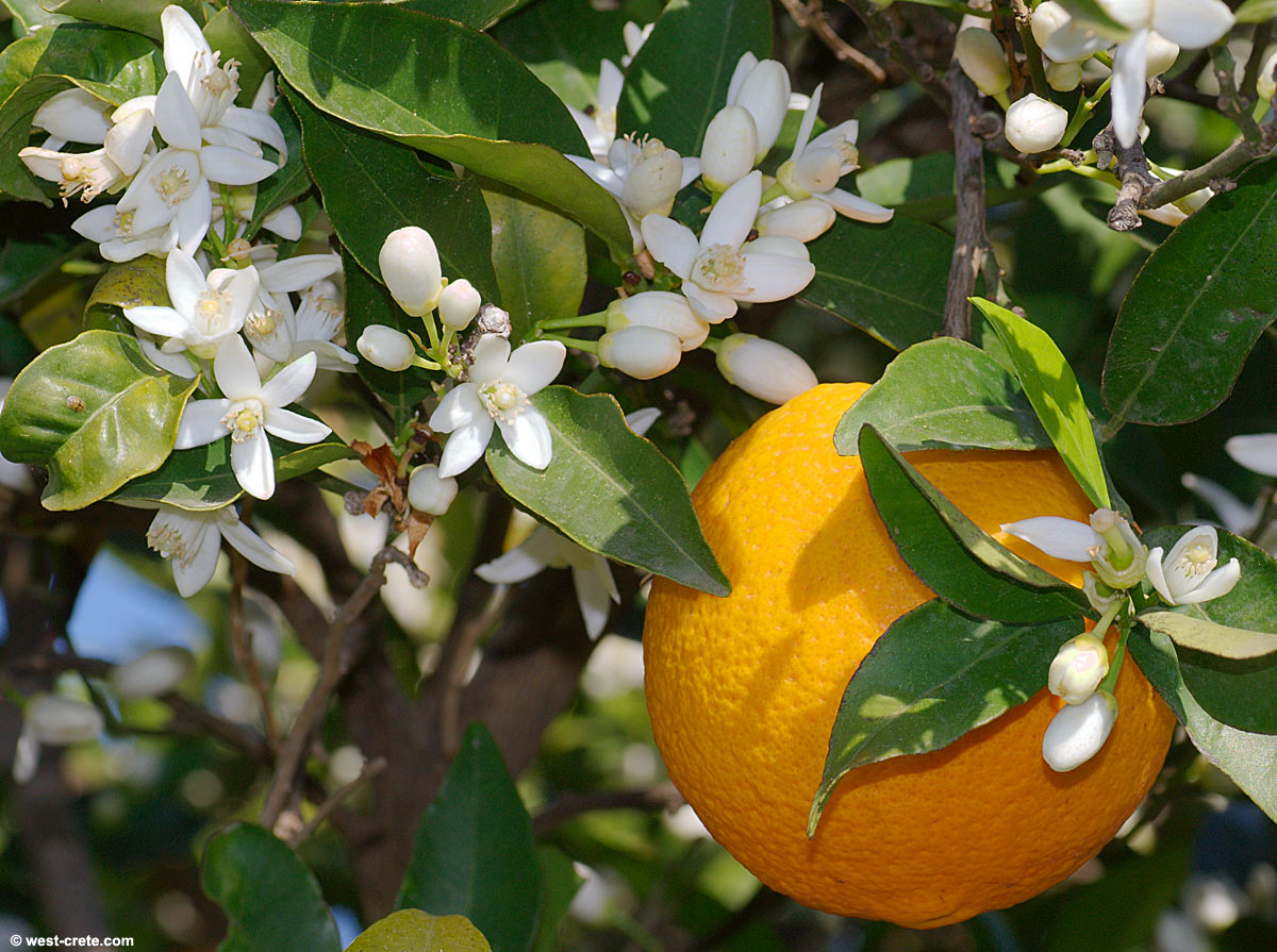 Citrus Sinensis Distribution Citrus Sinensis l